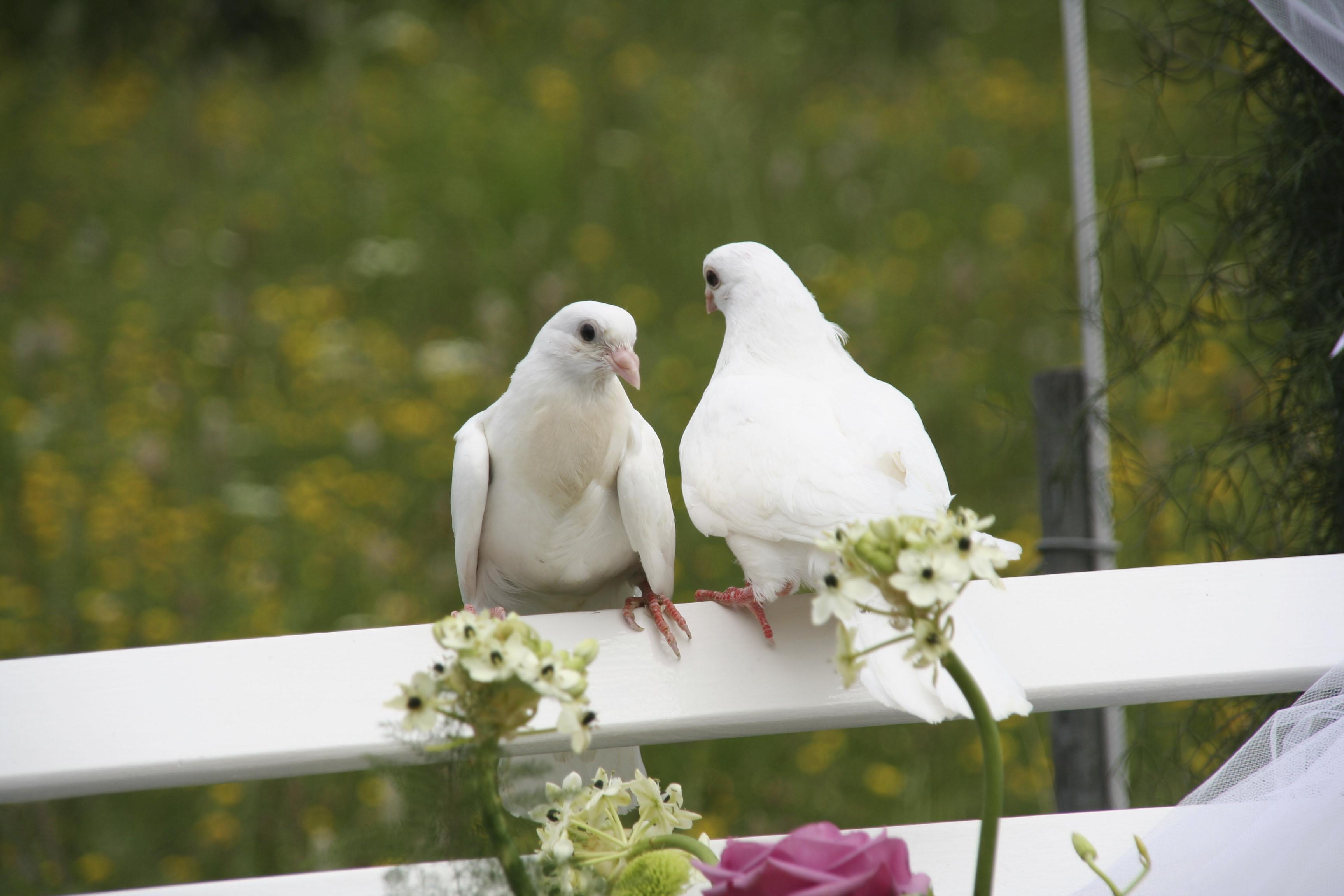 Wedding doves - Articles - Easy Weddings