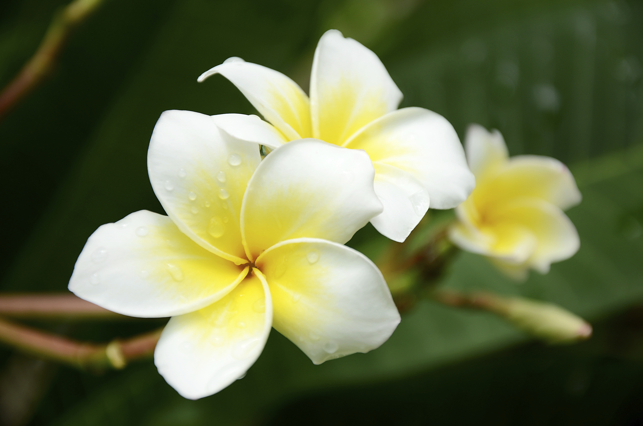 Wedding frangipani articles easy weddings even if you are having rubra frangipani flowers which are less fragranced you could include frangipani notes in your wedding perfume to add to the tropical izmirmasajfo