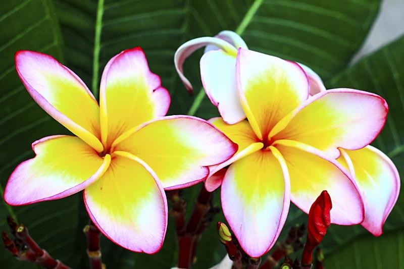 wedding frangipani flower
