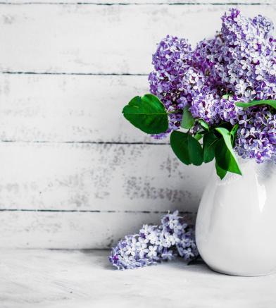 Lilac syringa