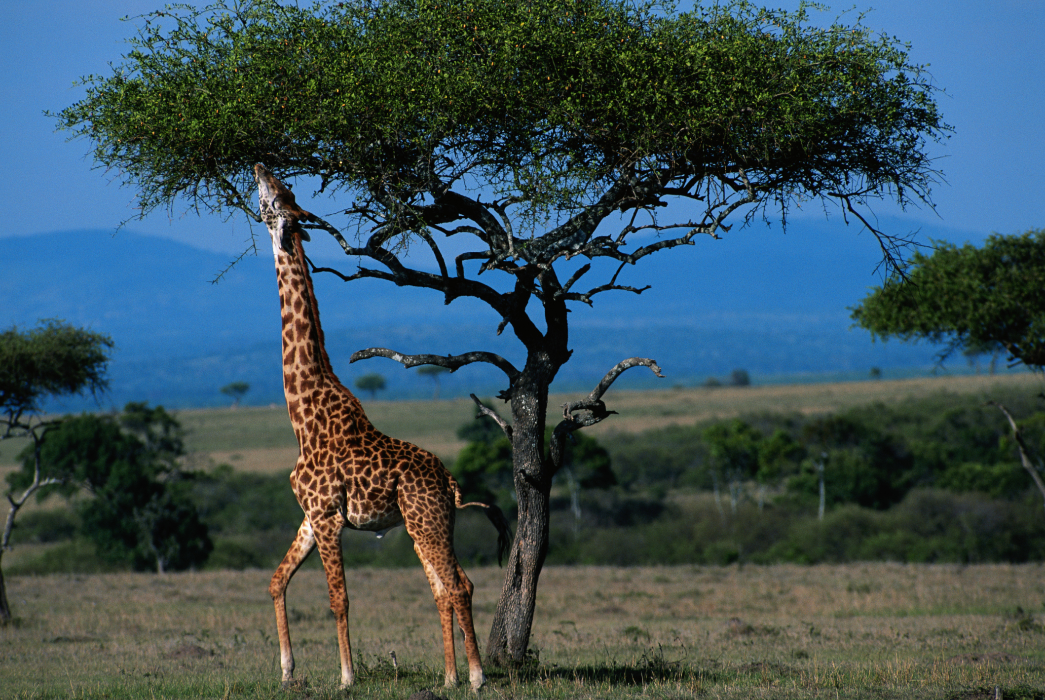 Giraffes - unusual honeymoons